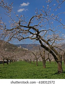 Bloom of apricot trees in the Wachau - Lower Austria