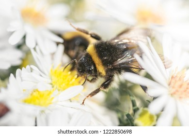 bloom bee collects nectar natural background selective focus, white flowers Astra perennial bush belongs to the family Asterae or Asteraceae