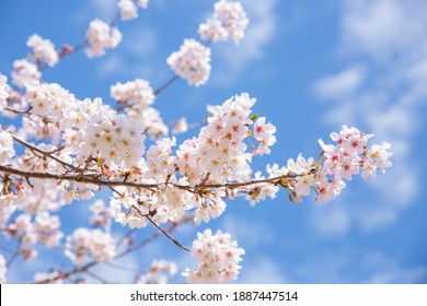 The Bloom of Cherry Blossoms - Shutterstock ID 1887447514