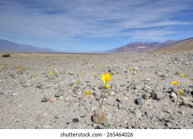 A bloom of desert gold (Geraea canescens) wildflower stands above the desert floor near Badwater Basin in Death Valley National Park, California