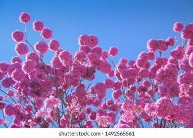 Bloom detail in purple ipe tree with bright blue sky