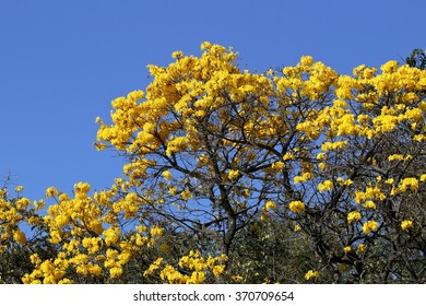 bloom detail yellow ipe with blue sky