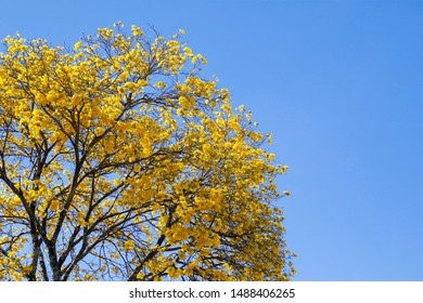Bloom detail in yellow ipe tree with bright blue sky