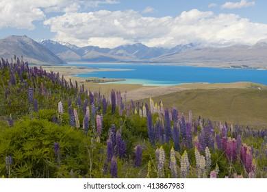 Bloom at Lake Tekapo