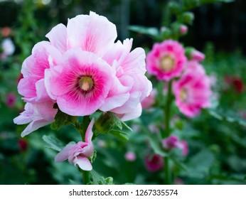 bloom light pink alcea rosea (hollyhock) flower on blur background