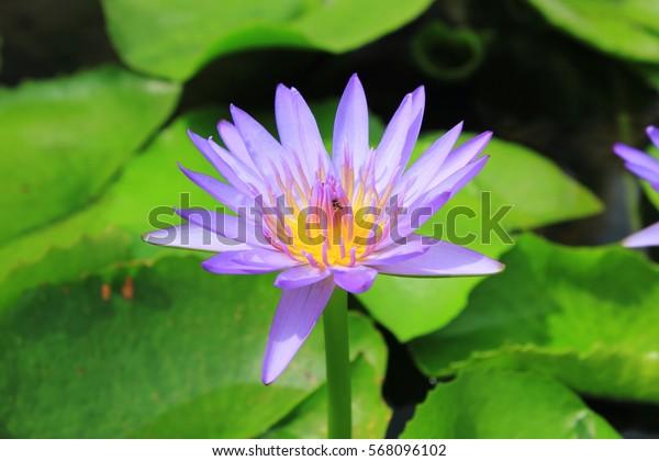 Bloom lotus flower on the water