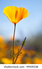 Bloom of Mexican Gold Poppy. HDR composition. Mexican Gold Poppy.