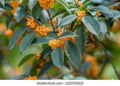 Bloom of Osmanthus fragrans, China, Shanghai