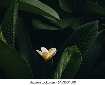 Bloom Plumeria with fresh green leaves bali style, vintage tone,cinematic color, art