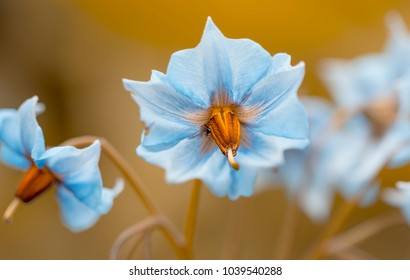 """Bloom of the potato """"Blue Swede"""""""