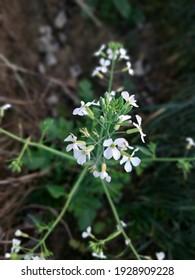 Bloom scene of flower Brassica nigra(Mustered)  - Shutterstock ID 1928909228
