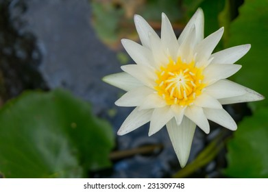 The bloom white lotus in the pool