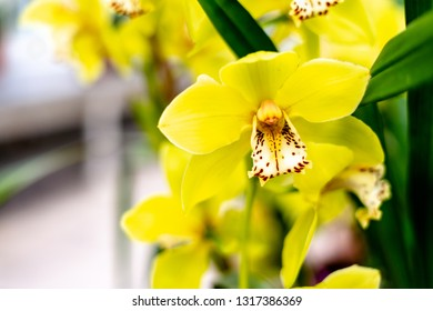 Bloom of yellow Cymbidium orchid.