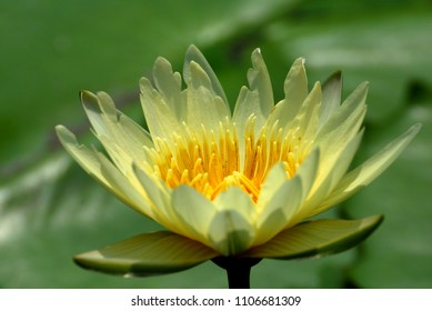 Bloom Yellow Lotus flower or Nymphaea nouchali or Nymphaea stellata is a water lily of genus Nymphaea.