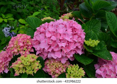 Bloomed Hydrangeas in Garden in Spring