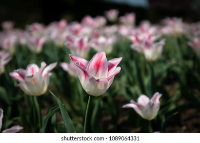 Bloomed pink tulip in gardens with blur background