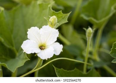 Bloomed white bottle gourd flower close up background