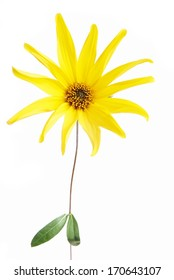 Bloomed yellow flower on a white background