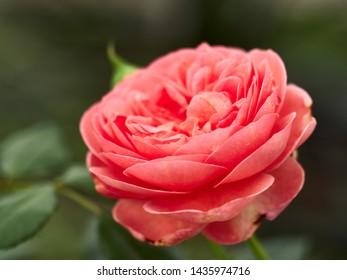 Blooming Abraham Darby Rose. Wallpaper, blooming background Blooming Abraham Darby Rose.