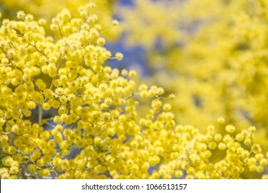 Blooming Acacia derwentii plant with yellow flowers on blue background