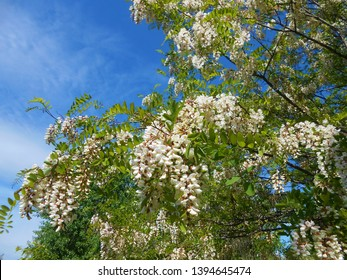 Blooming acacia tree in the Mai in Hungarian rural area