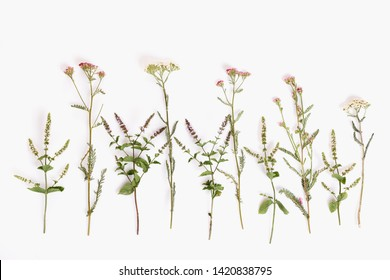 Blooming Achillea millefolium common names: yarrow or common yarrow isolated on white background