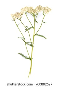 Blooming Achillea millefolium (common names: yarrow or common yarrow) isolated on white background