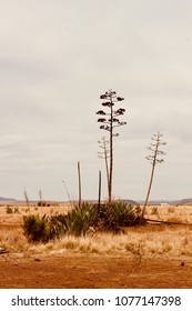 Blooming Agave Plants West Texas Chihuahua Desert