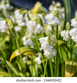 Blooming Allium paradoxum, the few-flowered garlic or few-flowered leek