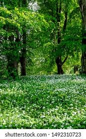blooming allium ursinum, wild garlic, in a German woodland