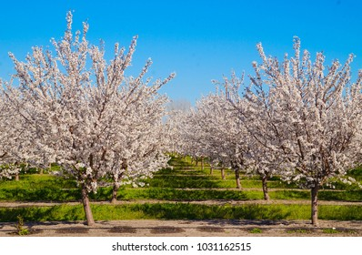 Blooming almond blossoms in February, 2018 in Lodi, California