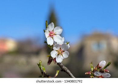 Blooming almond in spring at the French Riviera. Almond trees are typical trees at the French Riviera and Cote d´azur.