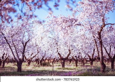 Blooming almond trees at spring time in rural farm.