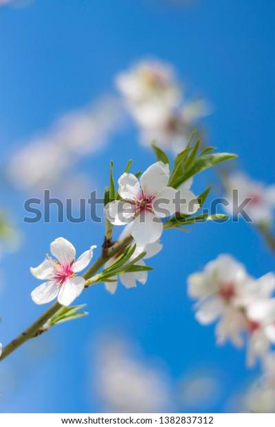 blooming-almond-twig-closeup-green-600w-