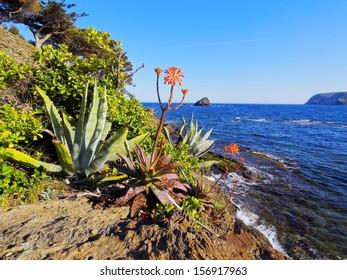 Blooming Aloe on the Coast of Costa Brava, Catalonia, Spain