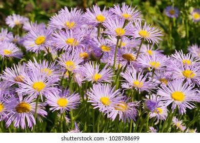 Blooming Alpine asters (Aster Alpinus)