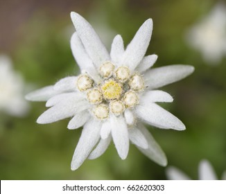 blooming alpine edelweiss flower