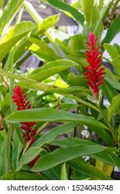 Blooming Alpinia Purpurata (Red Ginger). Bali, Indonesia. Vertical image.