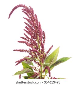 Blooming amaranth isolated on a white background.