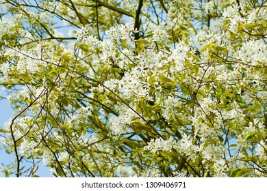 blooming Amelanchier shadbush, shadwood, serviceberry, sarvisberry, sarvis, juneberry, saskatoon, sugarplum, wild-plumtree chuckley pear with white flowers against blue sky