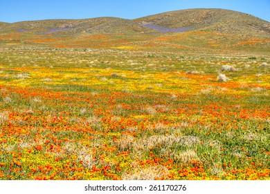 Blooming Antelope Valley, in California.
