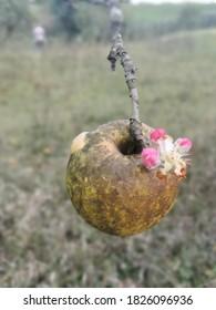 blooming apple in October 2020