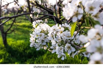 Blooming apple orchard, Crimea