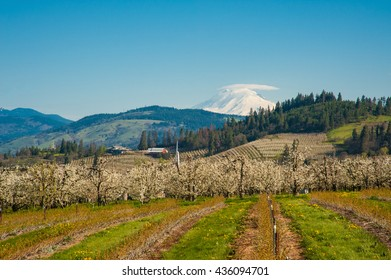 Blooming apple orchards and Mount Adams, Hood River Valley, Oregon