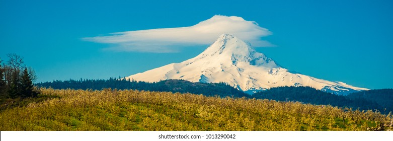 Blooming apple orchards and Mount Hood, Hood River Valley, Oregon