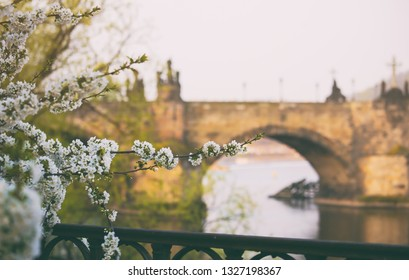 Blooming of Apple priapple tree flower with spring  view of the Old Town pier architecture and Charles Bridge over Vltava river in Prague, Czech Republic