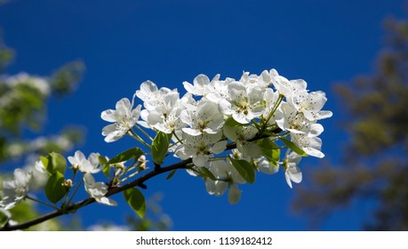 Blooming apple tree branch with large white flowers - Beautiful natural background with apple tree flowers