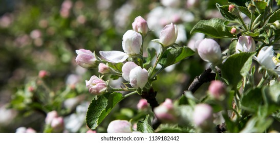 Blooming apple tree branch with large white flowers-- Beautiful natural background with apple tree flowers
