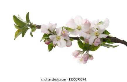 Blooming apple tree flowers on twig, isolated on white background with clipping path