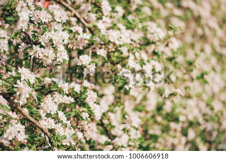 Blooming apple tree large white flowers beautiful stock photo edit blooming apple tree with large white flowersautiful natural seasonsl background with apple trees flowers mightylinksfo